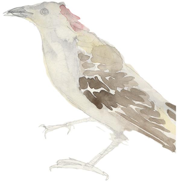 great bowerbird watercolour by Perdita Phillips 2006-ish